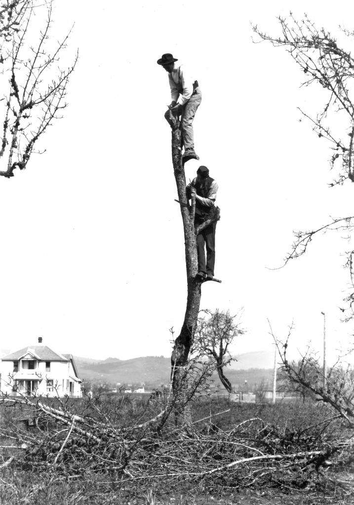 Stoats_and_R._C._Shepard_top_grafting_a_tree_(6258803370)